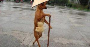 chó chống gậy