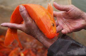 con cá có chứa oán linh