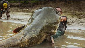 cá trê khổng lồ