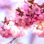 hoa anh đào xuân