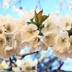 hoa anh đào vàng