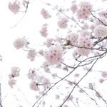 +888 Hình Nền Hoa Anh Đào - Hoa Anh Đào Đẹp Nhất