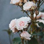 +888 Hình Nền Hoa Hồng Đẹp Và Lãng Mạn Nhất