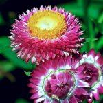 +333 Hình Nền Hoa Cúc - Cúc Đẹp Và Tươi Tắn